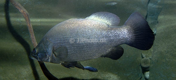 Nile perch in water